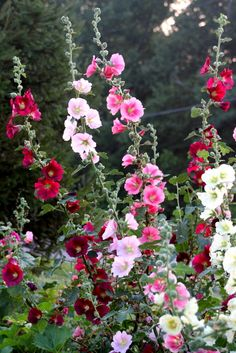 Hollyhocks - the cottage garden classics
