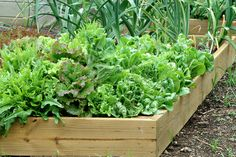 Growing Lettuce-types of lettuce to grow during each season
