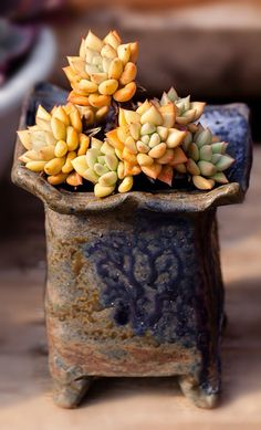 Growing Succulents, Succulents In Containers, Container Plants, Cacti And Succulents, Planting Succulents, Succulent Gardening, Succulent Terrarium, Cactus Plante, Unusual Plants