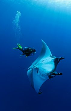 Manta and diver...                                                                                                                                                     Mais