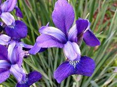 Íris (Iris germânica) | Cultivando.com.br