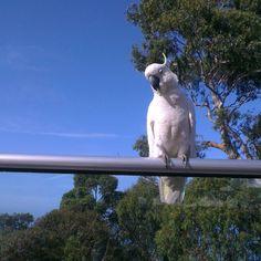 #Lorne #greatoceanroad #cockatoo by deathochka_ http://ift.tt/1IIGiLS