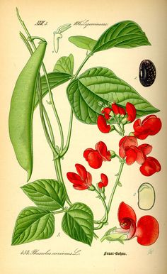 Scarlet Runner Beans. I was just given some as seed for my garden. I'm anxious to see how they perform. --Phaseolus coccineus - Wikipedia