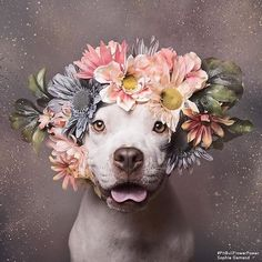 Today is the official first day of Spring! Let's celebrate with this beautiful PitBull Flower Power shot by Sophie Gamand.  She promotes adoptable dogs through her photography - an awesome cause! Please visit her page @sophiegamand for latest adoptions.  http://ift.tt/1N0elSB  #HeartCoreDesign #IntentionRings #SterlingSilver #Rings #Intentions #jewelry #Etsy #webshop #wordrings #words #Love #myintention #spring #hellospring #firstdayofspring #celebrate #withjewelry