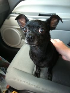Do you recognize this black chihuahua, Orlando? Help us find her owners! Black Chihuahua, Dog Photos, Orlando, Boston Terrier, Chihuahuas, Audubon Park, Dogs, Pictures, Animals
