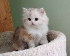 RagaMuffin Breeder of RagaMuffin kittens and RagaMuffin cats for sale. Puppies And Kitties, Cute Cats And Kittens, Kitty Cats, Kittens Cutest, Dogs, Kitten For Sale, Cats For Sale, Ragamuffin Kittens, Fancy Cats
