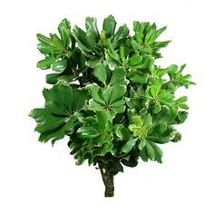 FiftyFlowers.com - Pittosporum Variegated Green Flower