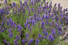 Planta de hisopo en hábitat
