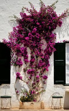 bougainvillea in front yard - grow onto awning.
