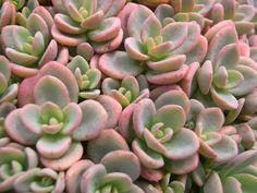 Sedum pluricale       Flower Factory