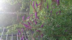 Syyssyräkkä on kasvanut isoksi puskaksi. Houkuttelee mehiläisiä ja perhosia.