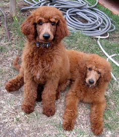 love standard poodles, as long as they are clipped like this...just say no to pompoms