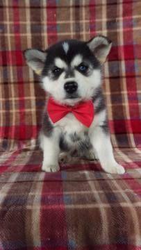 Pomsky-Siberian Husky Mix puppy for sale in LANCASTER, PA. ADN-72150 on PuppyFinder.com Gender: Male. Age: 6 Weeks Old #siberianhusky