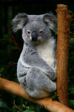 Koala bear chilling by Raphael Bick, via Flickr .....this is what I think of when I think of my soulmate. My Nick :)