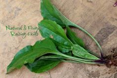 A DIY Life: Picking Plantain, An awesome medicinal yard weed., Natural health & DIY uses. Hair, Skin, Burns, Sunburn, impetigo, bug bites, bee stings, skin issues, poison ivy etc. blog post ... Plantain, the amazing herb/weed growing in your yard!