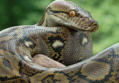 Are you looking to kno Top 10 largest, biggest and longest snakes in size in the world? Go through the article to know top largest size snakes in the world. Snake Information, Snake Facts, Green Anaconda, Reticulated Python, Burmese Python, Poisonous Snakes, Largest Snake, Long Snake, Python Snake