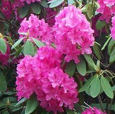 Rhododendron igényei ültetés és ápolás savanyú tőzeg árnyékos fekvés talajelőkészítés, Savanyító adalékok, Elnyílt virágok eltávolítása