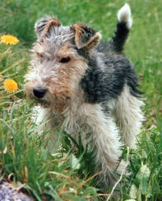 Fox Terrier | Fox Terrier a Pelo Ruvido - Wild and Pet