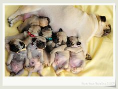mama pug and her babies