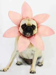 With some basic sewing skills, you can turn your four-legged friend into a fancy flower.