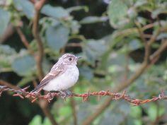 野鳥. a juvenile. 26 July 2016.