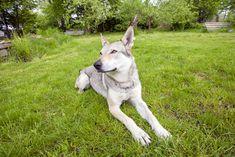 Czechoslovakian Wolfdog   German Shepherds bred with Carpathian wolves   one of 10 rarest dog breeds