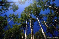 by Katie Theis  Aspens in Angel Fire, New Mexico.