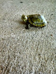 Baby turtle. :) Baby Turtles, Tortoises, Animals, Turtles, Animales, Tortoise, Animaux, Animal, Animais