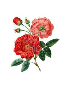 Rose PNG Red Roses Clipart, Rose Digital Image, Vintage Illustration for Printing, Digital Artwork - Vintage Flowers, Red Flowers, Red Roses, Antique Illustration, Botanical Illustration, Shapes Images, Flower Clipart, Digital Image, Digital Art