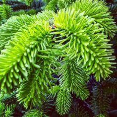 "3 aprecieri, 1 comentarii - Irina Tania (@irina.tania2004) pe Instagram: ""#pinetree #green #beautiful #forest"""
