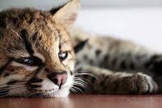 Image result for baby genets