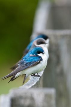 wonderous-world:  Tree Swallows by Stephen Davies
