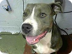 Atlanta, GA - American Pit Bull Terrier. Meet MONCHA, a dog for adoption. http://www.adoptapet.com/pet/15642946-atlanta-georgia-american-pit-bull-terrier