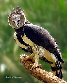 Harpy Eagle.  Maybe the most rare and magnificent of raptors in the American Tropics.  I'd love to see one of these on a big adventure.