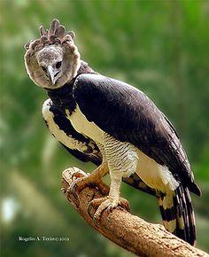 Aguila Harpia                                                                                                                                                                                 Más
