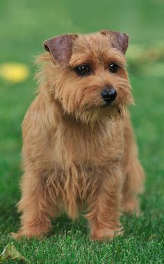 Norfolk Terrier puppy, what a character