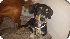 Verona, NJ - Dachshund Mix. Meet Lucille, a puppy for adoption. http://www.adoptapet.com/pet/11732252-verona-new-jersey-dachshund-mix