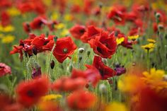Field Poppies by Jacky Parker on 500px