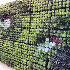 SnapWidget | Succulents make gorgeous living walls and easy to maintain...our HG living wall planters have been designed for this purpose in mind! We are the only supplier in Australia to stock this unique system.Visit www.lusciouslivingspaces.com.au #livingwall #livingwallart #livingwallpanels #verticalgarden #verticalwallgarden #verticalgardenmelbourne #succulents #echeveria #greenwall #plantwall #plantsforsun #lusciouslivingspaces