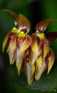 Miniature-orchid / Micro-orquidea: Pleurothallis alvori