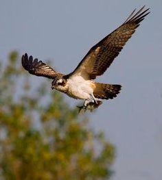 Muritz-Falco pescatore (Pandion haliaetus )