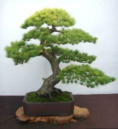 wald kiefer pinus sylvestris als bonsai bonsai b ume pinterest bonsai garten und bonsai. Black Bedroom Furniture Sets. Home Design Ideas