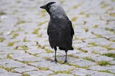 Gratis bild på Pixabay - Kråka, Fågel, Gatsten