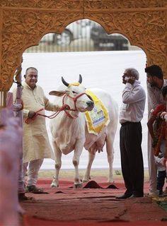 Un ganadero indio aguarda con una de sus vacas antes de hacerla caminar por una rampa durante un concurso de belleza bovina en Rohtak, India, el sábado 7 de mayo de 2016. Cientos de vacas y toros caminaron por la pasarela en este pueblo del norte de India para participar en el certamen, cuyo objetivo es promover la crianza de ganado autóctono y crear conciencia sobre la salud animal. (Foto AP/Altaf Qadri)