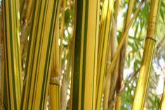 "bambusa ""alphonse karr"""