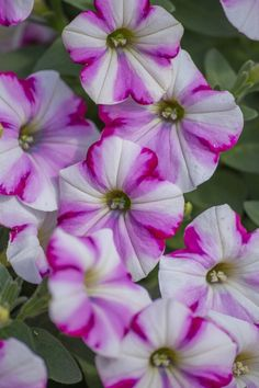 Petunia-what a beautiful variety
