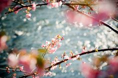 #sakura By somaruha via creature comforts faves