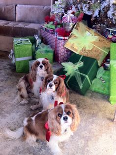 Cavalier King Charles Spaniel Family next to the Christmas Tree, ready to open presents!