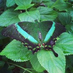Stunning butterflies today @zslwhipsnadezoo #whipsnade #bertturns3
