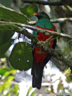 Pavonine Quetzal - Pharomachrus pavoninus